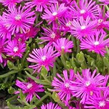outsidepride-ice-plant-table-mountain-1000-seeds