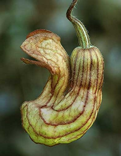 Aristolochia californica | California Pipevine | 5_Seeds by Buy Rare Seeds (Image #1)