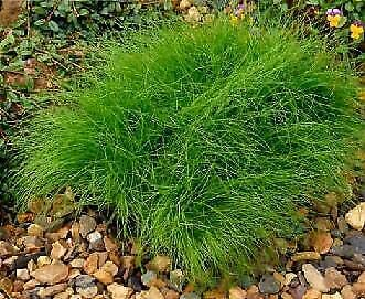 Details About Isolepis cernua Fiber Optic Grass MSP 100 Seeds Need More? Ask