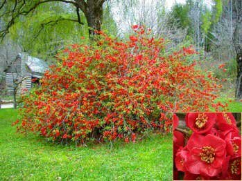 chaenomeles japonica japanese dwarf flowering quince seeds - Quince Flower