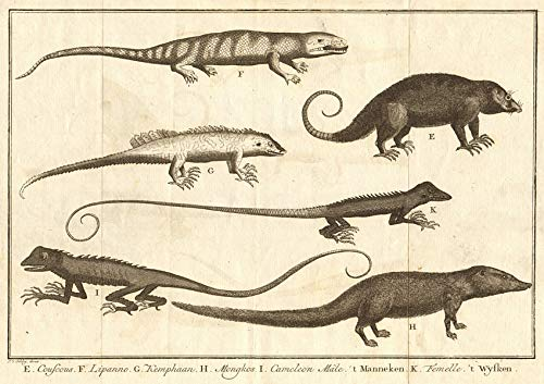 Cuscus leguaan Monitor/Philippine sailfin Lizard Mongoose Chameleon. Schley - 1763 - Old Print - Antique Print - Vintage Print - Printed Prints of Indonesia