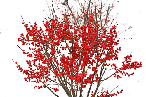 - Winter Red Winterberry Holly, 3 GAL