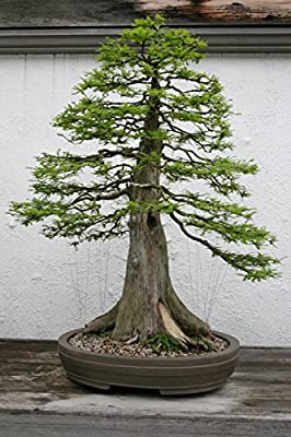 10 Seeds Taxodium distichum (Bald Cypress) Bonsai