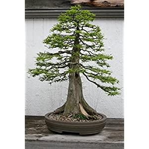 10 Seeds Taxodium distichum (Bald Cypress) Bonsai 3