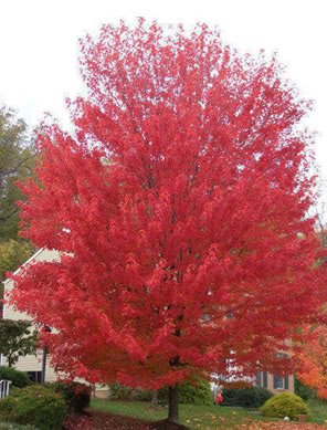 Amazoncom 25 Siberian Maple Tree Acer Ginnala Seeds Red Leaves