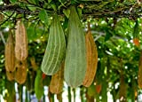 Gourd Luffa / Loofah Non GMO Heirloom Garden Vegetable 50 Seeds Sow No GMO USA