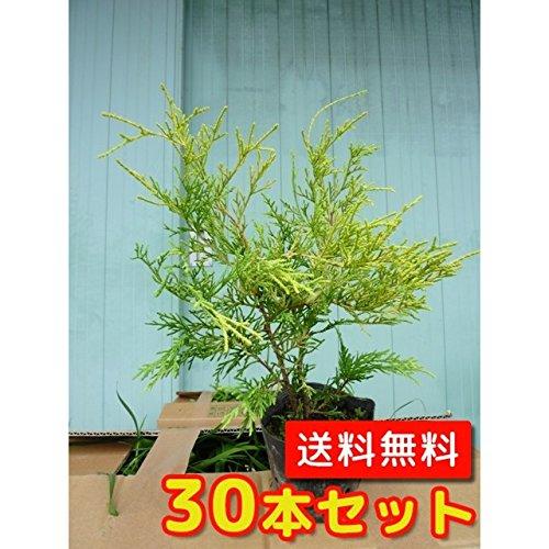 【ノーブランド品】フィリフェラオーレア樹高0.2m前後10.5cmポット【30本セット】 B00W4VWQM8