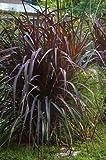Purple Fountain Grass Seeds Perineal Purple Color Contrast Filler