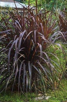 Purple Fountain Grass Seeds Perineal Purple Color Contrast Filler by jf_sel