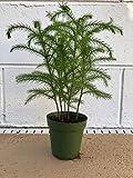 "Norfolk Island Pine Live 4"" Pot Evergreen Tree Araucaria Heterophylla Excelsa"