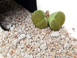 Lithops Soil 2 pounds Fast Draining Mineral Only