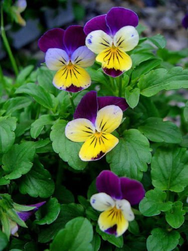 live-viola-cornuta-johnny-jump-up-1-seeding-plant-flower-garden