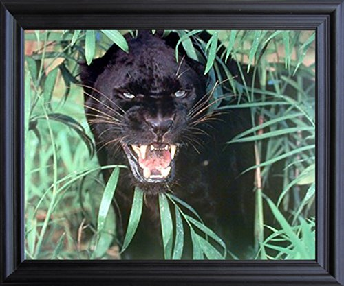 Black Panther (Jaguar, Big Cat) wild Animal Picture Black Framed Wall Decor Art Print (19x23)