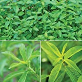 "Burpee Pina Colada' Herb Collection (Pineapple Mint, Verbena Lemon & Honey Dip Stevia), 3 Live Plants 2 1/2"" Pot"
