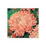 "Pink-Orange Tall Peony Aster""Janine"" - 250 Seeds"