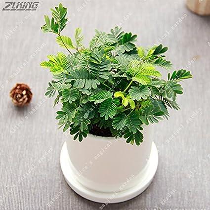 Amazon com: 20pcs Balcony Mimosa Pudica Seeds Red Albizia
