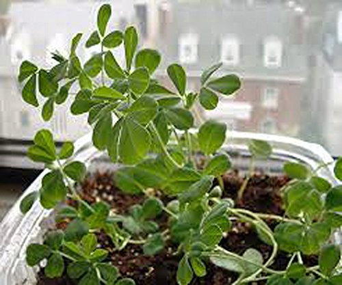 (FENUGREEK HERB SEEDS, HEIRLOOM, ORGANIC 100 SEEDS, HEALTHY AND TASTY HERB)