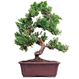 Brussel's Live Green Mound Juniper Outdoor Bonsai Tree - 7 Years Old; 14'' to 16'' Tall with Decorative Container - Not Sold in California