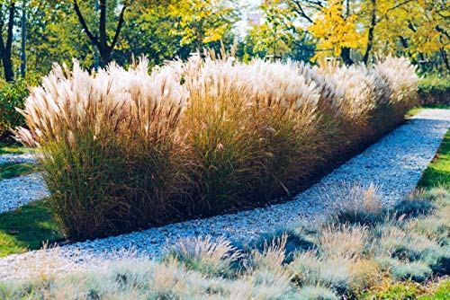 - calamagrostis brachytricha 20 Seeds, Feather Reed Grass - red, Pink, Silver