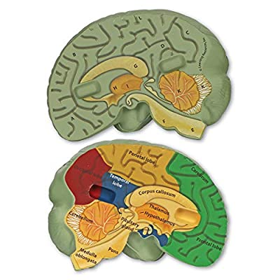 Learning Resources Cross-section Brain Model, 2 Piece, Color Coded , Ages 7+: Toys & Games