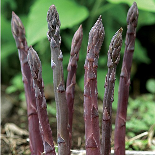 David's Garden Seeds Asparagus Purple Passion DL5572 (Purple) 25 Hybrid Seeds - Hybrid Asparagus