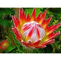 Portal Cool Paquete de semillas: Semillas Protea, 20
