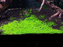Dwarf Baby Tears on 5 x 3 mat - Foreground Carpet Aquarium Plant