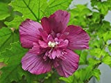 Rose of Sharon - Dusty Rose Red - 2' - 4' Tall - Bush/Shrub - Healthy Established - Gallon Potted -...