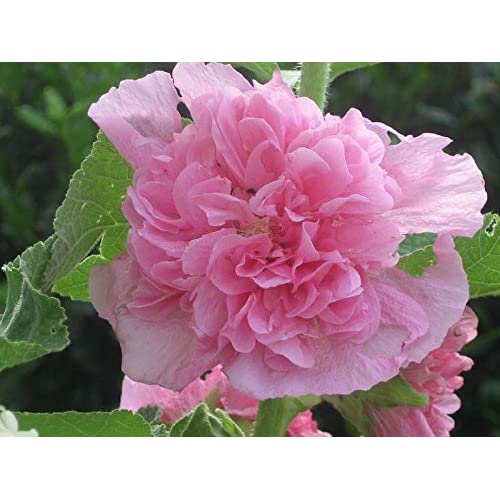 30+ Alcea Pink Double Hollyhock Flower Seeds / Perennial