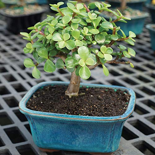 Brussel's Bonsai Live Dwarf Jade Indoor Bonsai Tree-3 Years Old 4'' to 6'' Tall with with Decorative Container, Small, by Brussel's Bonsai (Image #2)