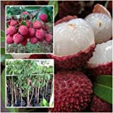 Lychee Litchi Lichee Lichi Tree Plant Grafted Tall 22'' Fruit Tropical Thailand
