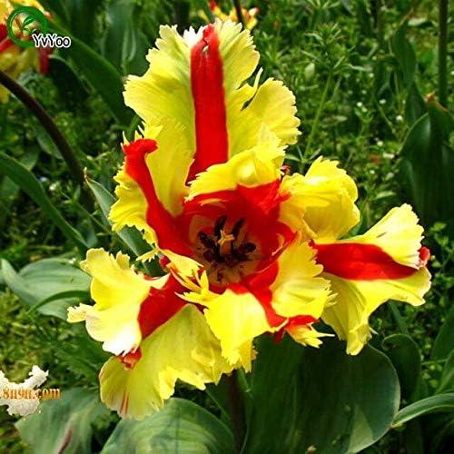 Semillas de Iris amarillas perennes Hermosa planta de flores Jardín de la casa Planta de flores 30 piezas A019: Amazon.es: Jardín