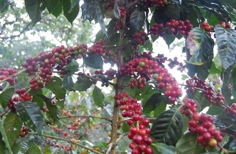 Nicaraguan Las Delicias (5 LB) Unroasted Green Coffee Beans, Specialty Arabica High Grown coffee from Nicaragua by Bodhi Leaf Trading Company (Image #3)