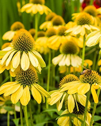 Yellow Echinacea flowers. Fine Art Flower Photography Print for Home Decor Wall Art ()