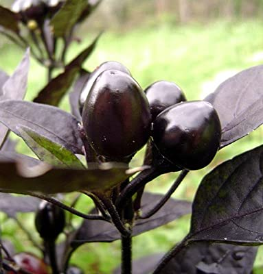Black Pearl Hot Pepper 10 Seeds - Ornamental/Edible