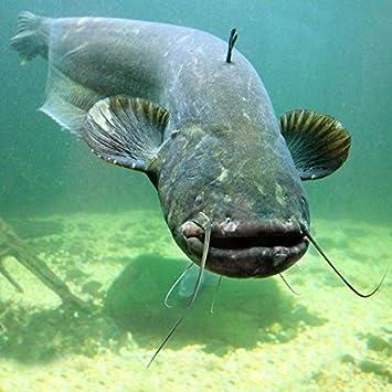 Underwater Mekong Giant Catfish Biggest Fish Portrait Wild Nature