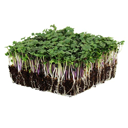 Spicy Micro Salad Mix Microgreens Seeds: 1 Lb - Non-GMO Seed Blend: Broccoli, Kale, Mustard, Cabbage, Arugula, More (Seeds Sprouting Radish)