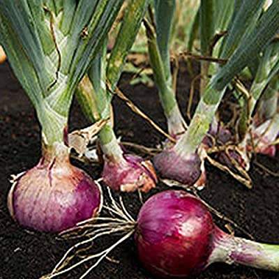 Red Burgundy Onion Garden Seeds - Non-GMO, Heirloom Vegetable Gardening Seeds