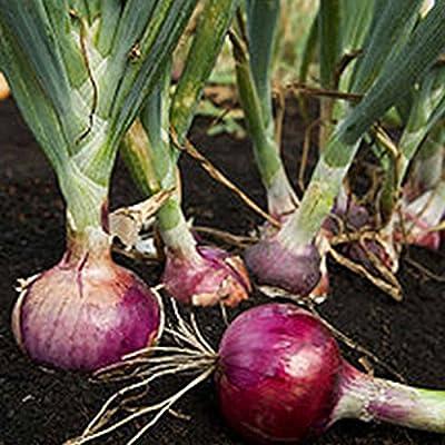 Red Burgundy Onion Garden Seeds - Non-GMO, Heirloom Vegetable Gardening Seeds