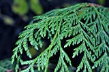 Western Red Cedar Tree - Ideal for Hedges, Prunes Well - 1 Gallon Live Plant