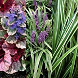 Classy Groundcovers - Shady Variegated Deer Mix #1, 20% Off: 25 Variegated Lilyturfy, 25 Sedge 'Ice Dance', 25 Bugleweed 'Burgundy Glow'