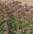 Hazzard's Seeds Marjoram Wild Origanum vulgare 2,500 seeds