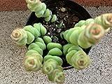 Crassula rupestris ssp. marnieriana. AKA Baby Necklace