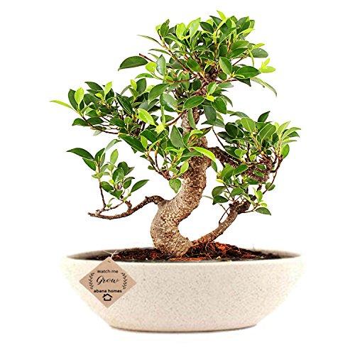 Abana Homes S Shape Ficus Bonsai Plants Real for Home with Ceramic Pot – Low Maintenance