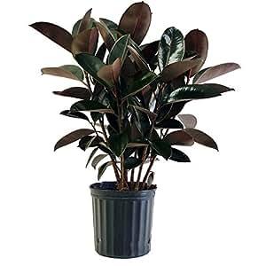 Burgundy Rubber Plant in Pot