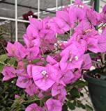 Bougainvillea - 'Royal Purple'