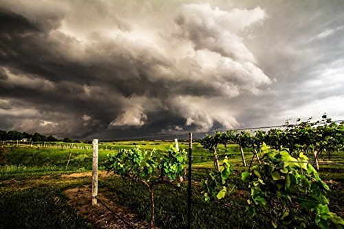 Wine Vineyard Photography Art Print - Picture of Storm Over Grapevines in Eastern Nebraska Western Decor Artwork for Home Decoration 5x7 to 30x45