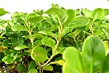 1 Green Coprosma Potted Rooted Mirror Bush 6-9 Inch Tall Live Plant
