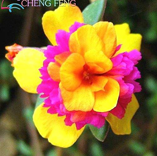 2015 Hot Sale bonsai flower seeds Sunflower seed Portulaca grandiflora purslane 200 peony asparagus