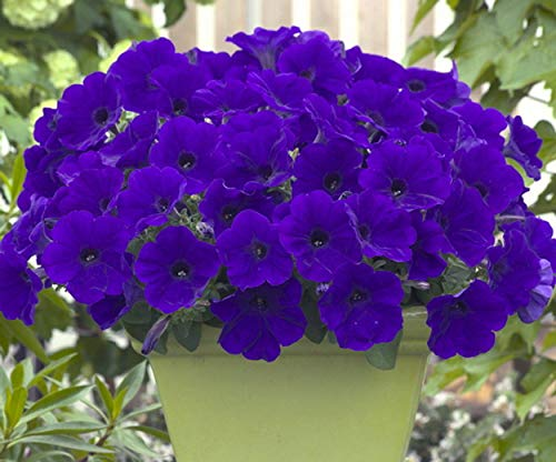3000 Seeds Trailing Petunia - Blue ()